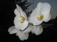 Blomst (orkide)