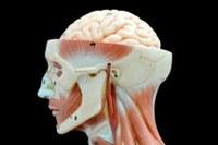 Gæsteforelæsning om semantik og neurolingvistik